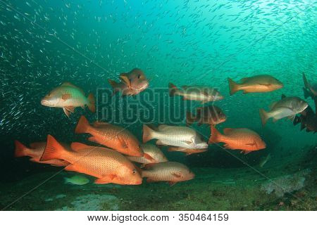Red Snapper fish school underwater