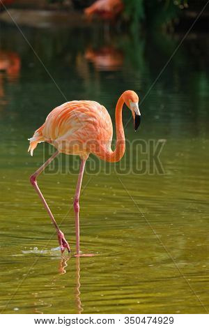American flamingo (Phoenicopterus ruber) pink bird in pond