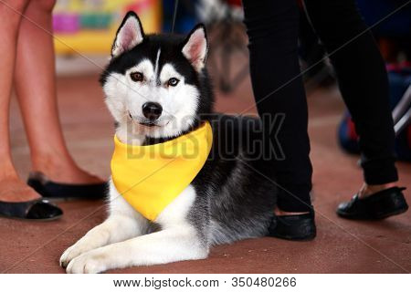Siberian Husky Dog With A Yellow Scarf On The Neck