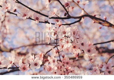 Beautiful Flowery Spring Background With Cherry Blossoms.