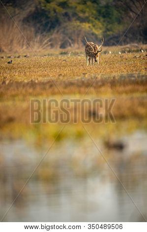 Spotted Deer Or Chital Or Cheetal Or Axis Axis Clicked In Different Perspective An Antler Grazing Gr