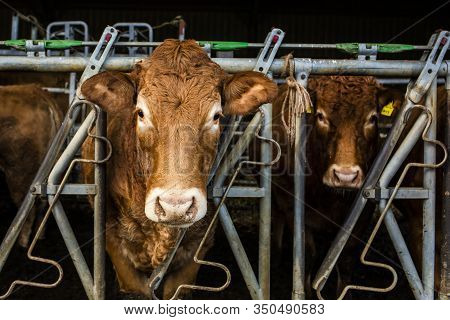 Dairy Cows With Their Heads Through A Cattle Crush