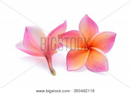 Pink Plumeria Flower, Frangipani Or Plumeria , Tropical Flowers Isolated On White Background