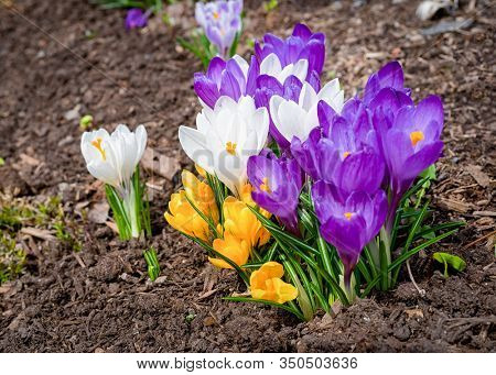 Mixed hybrid crocus flowering in the early spring garden.