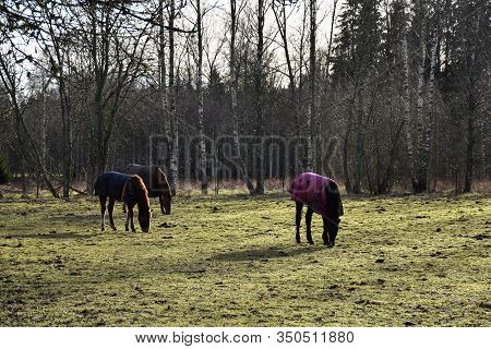Backlit Grazing Horses Covered With Horse Blankets In A Green Pasture Land