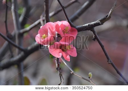 Pink Flowers With Yellow Pistils And Anthers On A Gray Leafless Branch. Blurred Background.