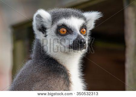 Head Shot Of A Ring Tailed Lemur (lemur Catta).