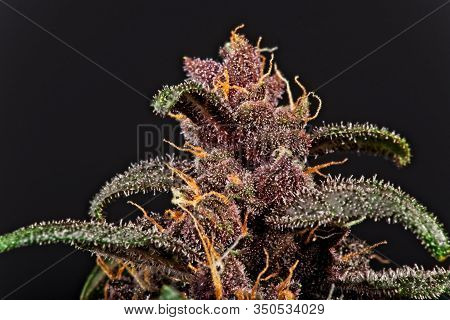 Cannabis Top Bud And Leaf Trichomes.