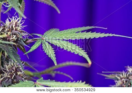 Cannabis Bud And Large Leaf.