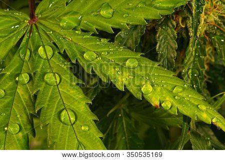 Water Drops On Cannabis Leaf