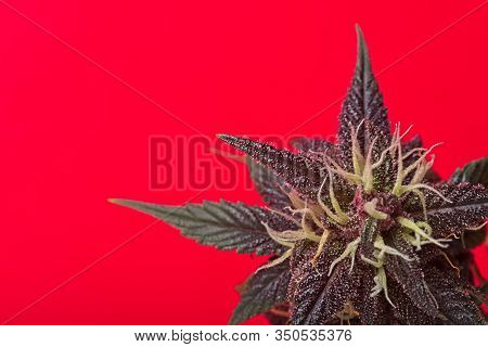 Macro Close Up Of Trichomes On Red Variety Of Female Cannabis Indica Plant Leaf And Bud On Red Backg