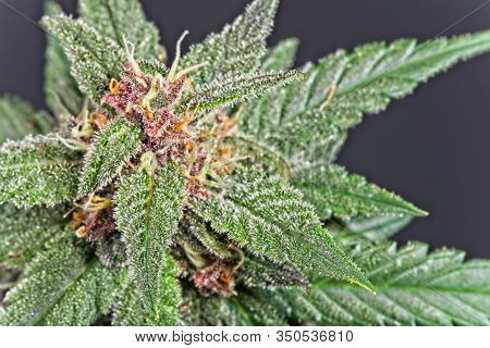 Cannabis Bud With Leaves
