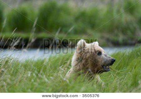 Brown Bear Chewing Grass