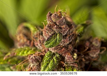 Macro Close Up Of Trichomes On Nice Light Green And Purple Mature Auto Flowering Cannabis Plant Buds