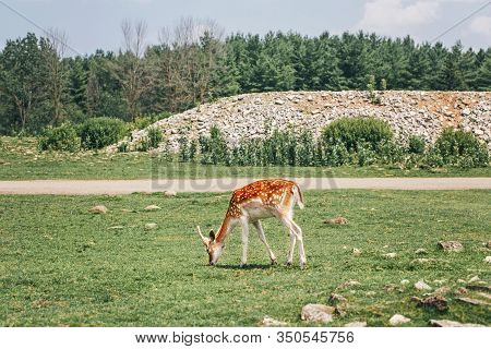Group Of Young Fallow Deer Eating Grass On Summer Outdoor. Herd Animals Dama Dama Feeding Consuming