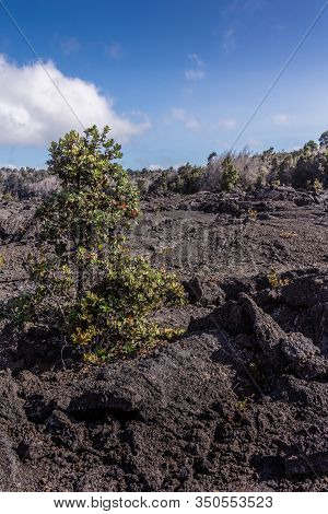 Kilauea Volcano, Hawaii, Usa. - January 9, 2012: Small Green Trees On 1961 Pile Of Black And Brown L