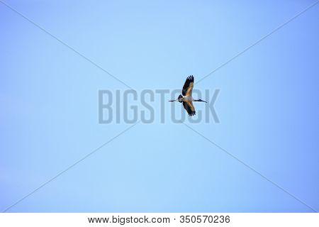 Wood Stork Mycteria Americana Flies Through The Blue Sky Over Myakka State Park In Sarasota, Florida