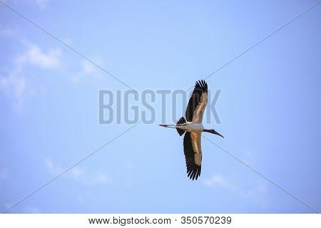 Wood Stork Mycteria Americana Flies Through The Blue Sky