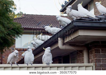 Flock Of Sulphur-crested Cockatoos Sittting On A Roof. Australian Urrban Wildlife