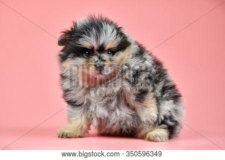 Pomeranian Spitz Puppy. Cute Fluffy Tri-colored Spitz Dog On Pink Background. Family-friendly Tiny D