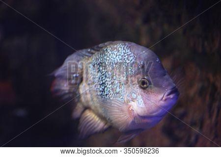 Shiny Piranha Fish Swimming In Clear Aquarium, Closeup