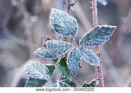 Winter Background Of Frozen Leaves. Natural Winter Background. Winter Tree Leaves Background. Winter