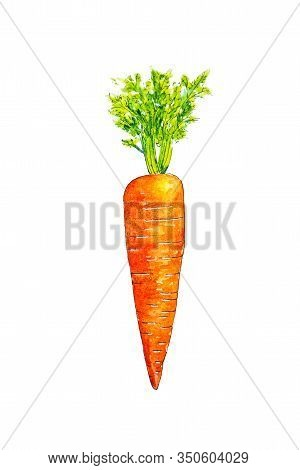 Watercolor Drawing Of Carrot Isolated On White Background. Handmade Illustration Of Carrot.