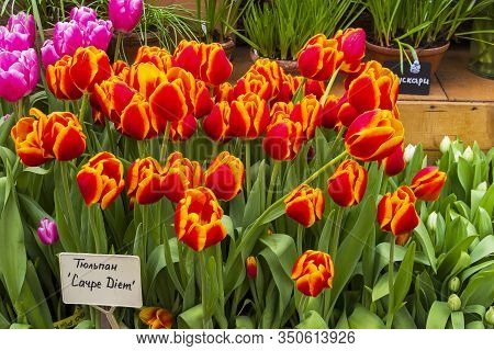 Tulipa Of The Carpe Diem  Species In A Greenhouse. Translation Of The Word On Nameplate: