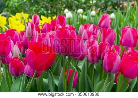 Tulipa Of The Niigata  Species In A Greenhouse. Translation Of The Word On Nameplate:
