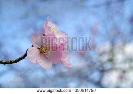 Cherry And Apple Tree Blossom Close Up. Selective Focus And Copy Space. Spring Sakura Blossoms. Pink