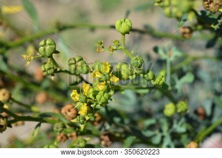 Common Rue Seed Pods And Flowers - Latin Name - Ruta Graveolens