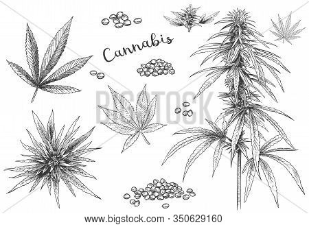 Cannabis Hand Drawn. Hemp Seeds, Leaf Sketch And Cannabis Plant Vector Illustration Set. Collection