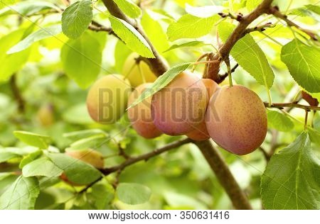 Fresh Yellow Plums. Branch Of Plum Fruit. Scene Of Garden Plum Tree. Orchard Plums Fruit. Ripe Fruit