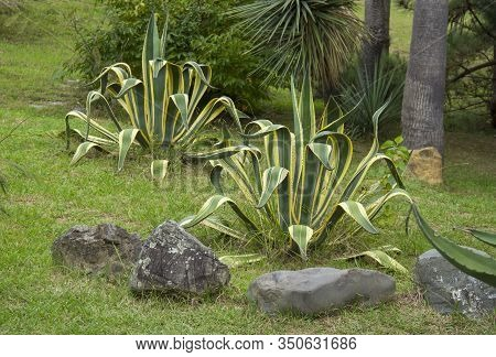 Agave Americana, Sentry Plant, It Grows In The Wild In The Highlands Of Mexico. Tropical Vegetation