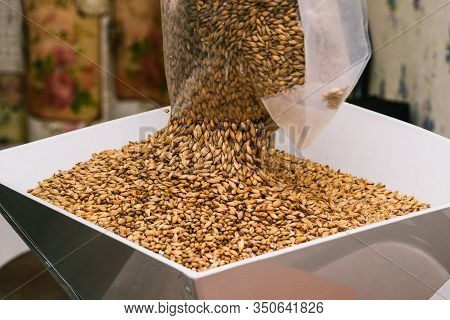 The Brewer Spills Barley Malt From A Chopping Bag. The Process Of Making Beer