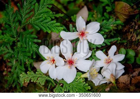 Beautiful White Tung Tree Flower, Like The Snow Floating On The Ground In May ( Tung Flower)