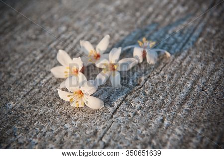 White Tung Flower Falling On The Ground, Tung Flower Blooming Season