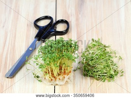Garden Cress Is Cut With Scissors. Fresh Cress Growing From Cotton Pad , Brown Table. Also Called Mu
