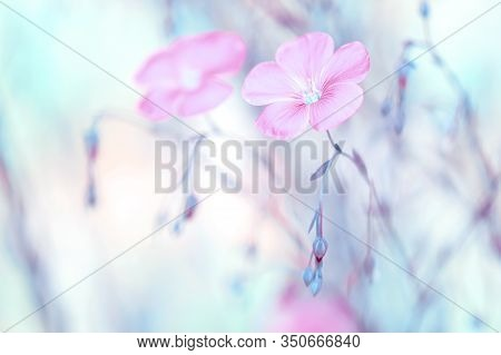 Pink Flax Flowers On A Gentle Pastel Background. Spring Beautiful Flowers. Selective Soft Focus