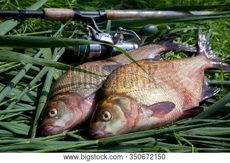 Two Big Freshwater Common Bream Fish And Fishing Rod With Reel On Green Reed..