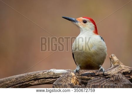 Red Bellied Woodpecker Melanerpes Carolinus Profile On Fallen Tree Trunk