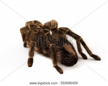 Spider Called Akontoskuriya Geniculator On A White Background Spider With A Long Pile Of Brown Color