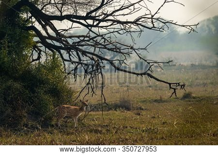 Spotted Deer Or Chital Or Cheetal Or Axis Axis An Antler In Beautiful Landscape At Keoladeo National