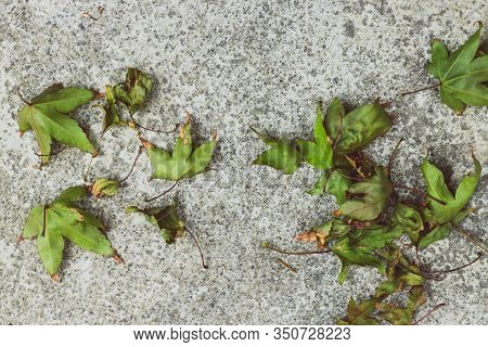 Fallen Leaves From A Maple Tree With Green Tones On Concrete