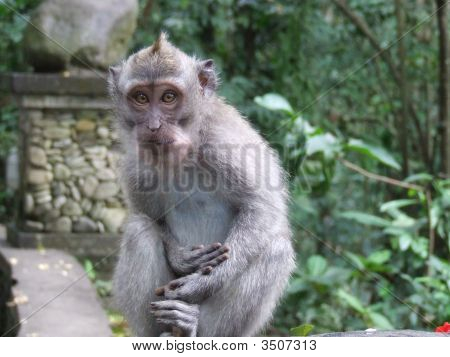 A Close Up Of A Baby Grey Monkey In Ubud Monkey Forest Bali Indonesia.