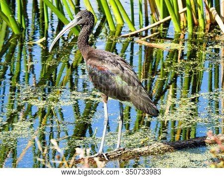 Limpkin (aramus Guarauna) Wading In A Marsh In Florida