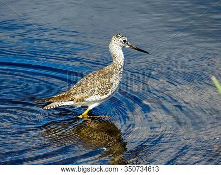 Greater Yellowlegs Wading In The Warm Waters In Florida