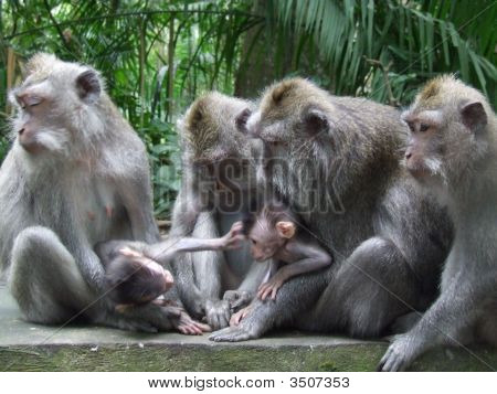 Monkey Family Discuss Business As Grey Youngsters Play In Ubud, Bali, Indonesia
