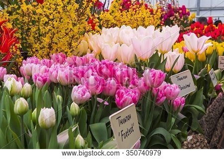 Tulipa Of The Foxtrot Species In A Greenhouse. Translation Of The Words On Nameplates: