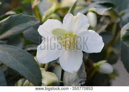 Christmas Rose Select Flower Bud- Latin Name - Helleborus Niger Select